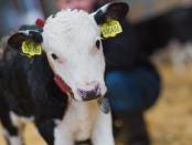 Die vielfältigen Probleme in der Rinderzucht