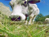 Importe von Hormonfleisch: Die Bedrohungen der einheimischen Rinderzucht