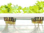Hydrokultur: Pflanzenaufzucht ohne Erde