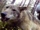 """""""Der Wolf ist alles andere als scheu"""""""