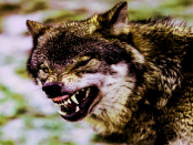 """Wölfe in der Lausitz: """"Immer öfter wird er in Ortsnähe gesehen"""""""