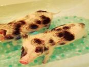 """Lausitzer Minischweine: """"Minischweine zu züchten die auch klein bleiben .... Mini´s eben"""""""