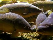 """Lausitzer Fischwochen: """"Für die Lausitzer Teichwirte die aufregendste Zeit"""""""
