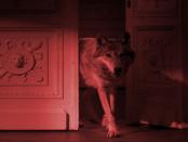 """Das Märchen von scheuen Wolf: """"Nur scheu wenn sie gejagt werden"""""""