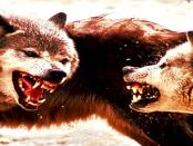 Wenn der vermeintlich scheue Wolf zuschlägt