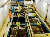 Aquakulturen in der Lausitz: Der Afrikanische Raubwels