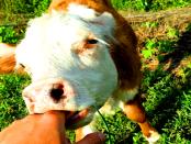 Rinderzucht in der Lausitz
