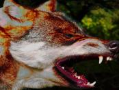 Geleugnet und Verharmlost: Wenn Wölfe Menschen angreifen