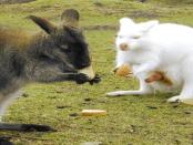 Thürmer-Hof: Die weißen Kängurus in der Lausitz