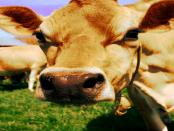 App-Tudder: Wie Bauern geeignete Rinder finden