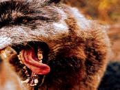 Wie die Wolfspopulation die Artenvielfalt bedroht