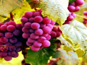 """Lausitzer Weinanbau: """"Erste urkundliche Erwähnung vom Weinanbau stammt aus dem Jahre 1210"""""""