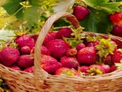Kleine Erdbeere: Das freie Musikplayer-Programm Strawberry