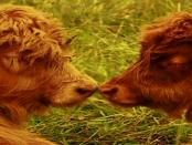 Bauernhof Helm: Die Salers-Rinder in der Lausitz