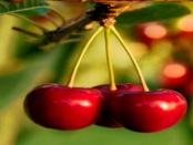 """""""Sauerkirschen aus der Lausitz"""" - """"Bereits am Baum werden die besten Früchte ausgelesen"""""""