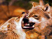Warum der Wolf die Nähe des Menschen sucht