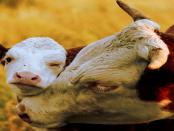 Rinderzüchter im Zangengriff: Zwischen internationalen Handelsabkommen und steigenden Vorschriften