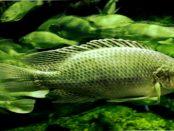 """Kirschauer Aquakulturen: """"Wir produzieren Tilapia vom Ei bis zum Speisefisch"""""""