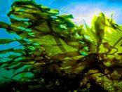 Die zunehmende Verbreitung von Algen in Alltagsprodukten