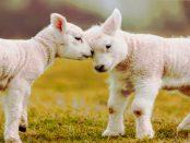 Die Schafzucht in der Lausitz