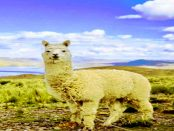 Weidetierhalter in Sorge - Wie der Wolf zum Aussterben von Vogelarten beiträgt