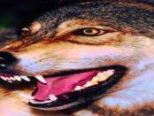 Geheime-Verschlusssache Wolfshybride: Die unberechenbaren Kreuzungen zwischen Wolf und Hund