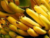 Warum Bananen in der Lausitz wachsen