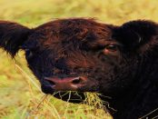 """Lausitzer Galloways - """"Ja, das sind ganz besondere Rinder"""""""