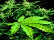 --W E R Β U Ν G-- CBDwelt.de: Ohne berauschende Wirkung - Inhaltsstoffe von Cannabis