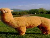 """Aktivhof """"Lindengut"""" - """"Alpakas sind intelligente und neugierige Geschöpfe mit einem sanften Gemüt"""""""