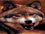 Lausitz - Die offiziellen Verlautbarungen über dem Wolf und die Realität klaffen immer weiter auseinander