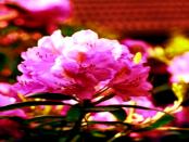 """Rhododendronpark Hutberg Kamenz: """"Herrliche Blütenpracht von hunderten Rhododendren und Azaleen"""""""