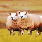Um Schafe zusammen zu treiben: Hundegebell von einer fliegenden Drohne